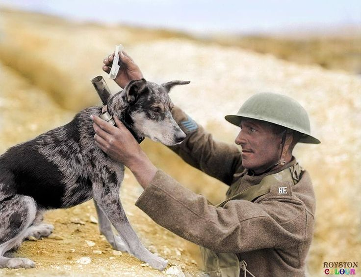 An unknown soldier with the Royal Engineers Signals Section putting a message into the cylinder attached to the collar of a dog at the Central Depot of the Messenger Dog Service at Étaples-sur-Mer on 28 August 1918.  (He wears four Overseas Service Chevrons on this right sleeve and the dog has been identified as an Australian Blue Heeler, cattle dog.)