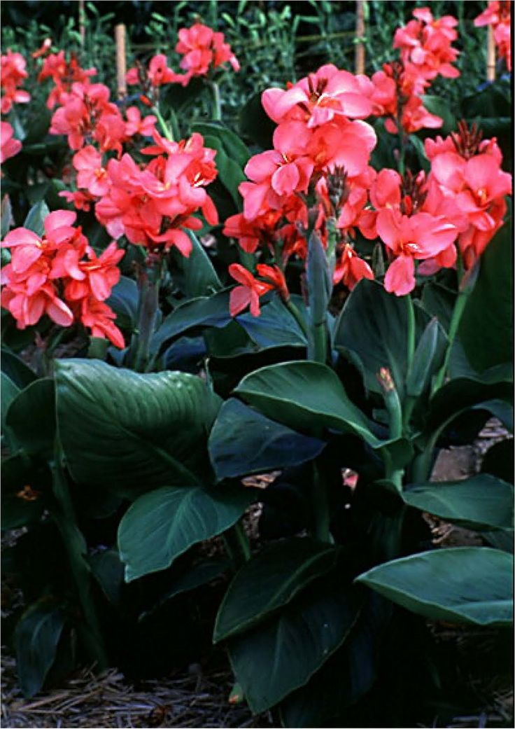 canna lily tropical rose