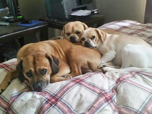 DAISY & MILO -Please read story!  Dog • Pug • Adult • Female • Small NY PET-I-CARE ADOPTION PROGRAM New York, NY