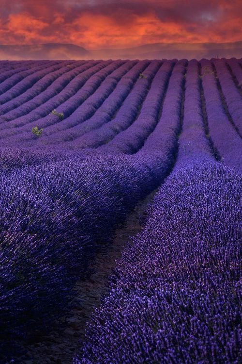 Sunset in lavender fields - #Provence, #France