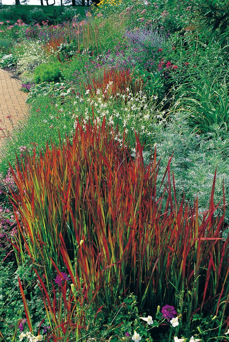195 best images about grasses on pinterest gardens for Perennial grasses red
