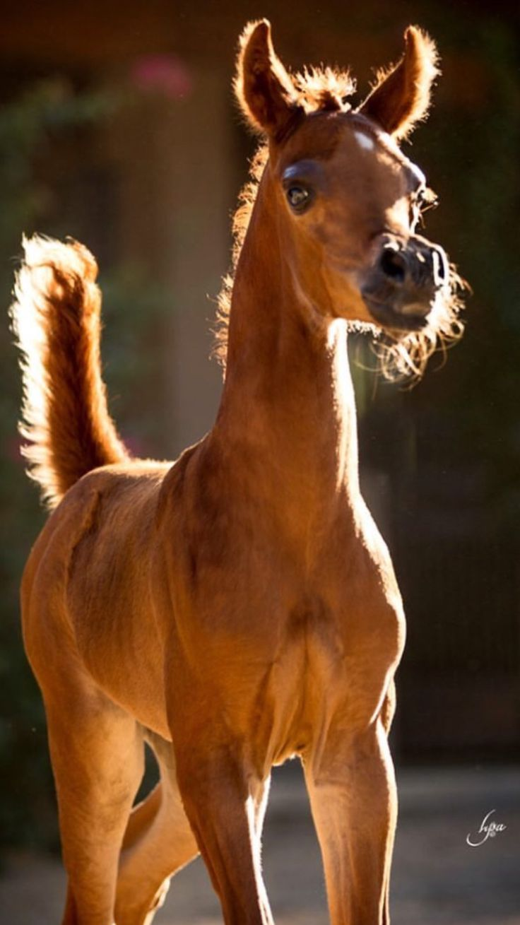 Cute curious foal with his tail stuck up. Look at that proud adorable face. Beautiful horse!