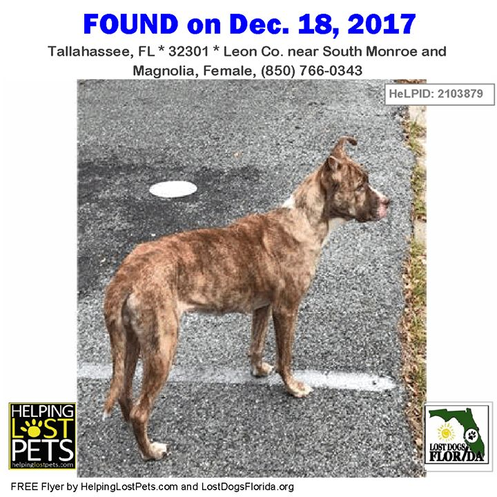 Please share to find this dog's family!  This  female brindle/white American Bulldog was found near South Monroe and Magnolia in Tallahassee.    Contact:  (850) 766-0343  More info additional photos to see the dogs location on a map and to contact the finder directly:  http://ift.tt/2kh43Jr  #LostDogsFlorida #HelpingLostPets #FoundDog #AmericanBulldog #Bulldog #Tallahassee