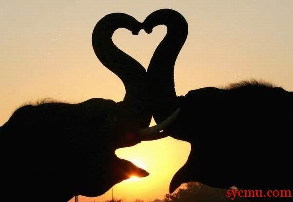 Trunk heart #sunset #elephant