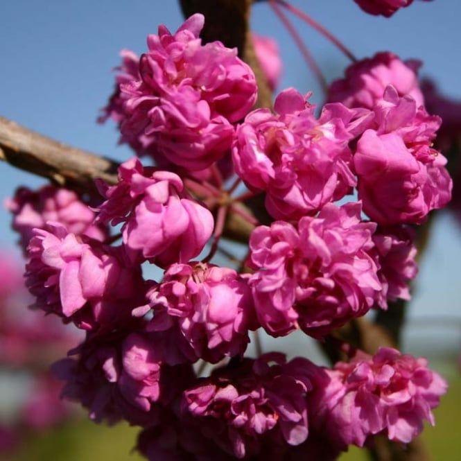 Cercis Canadensis Pink Pom Poms Tree Redbud Tree Eastern