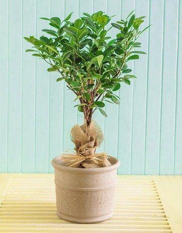 103 Best Folhas Ficus Images On Pinterest Figs Ficus