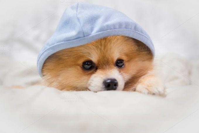 pomeranian dog cute pets  by Pattarawat on @creativemarket