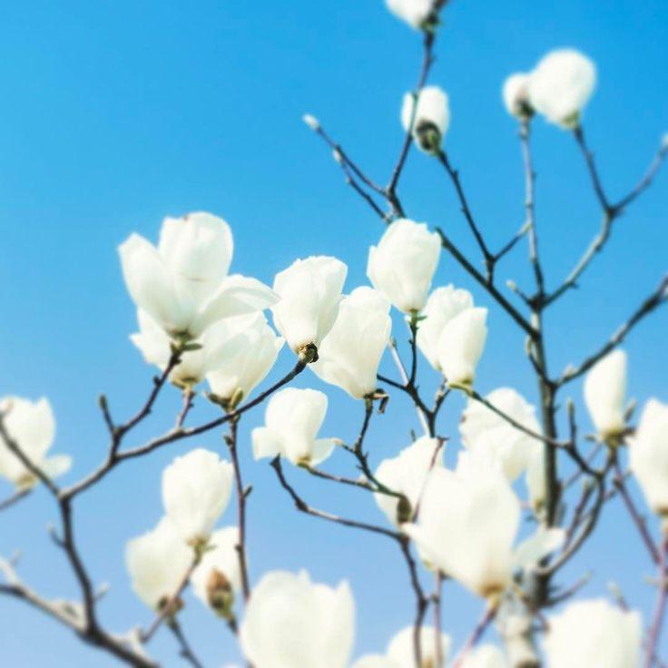 . 弊社のまわりには毎年ハクモクレンが咲きますピンクは少ないのですが白色のお花が一斉に咲くのがとても綺麗ですマグノリアともいうんですね . #mat_and_rugfactory  #マットラグ  #くらしにプラス  #insta_wakayama  #マットアンドラグ #モクレン #木蓮 #マグノリア #magnolia #flower