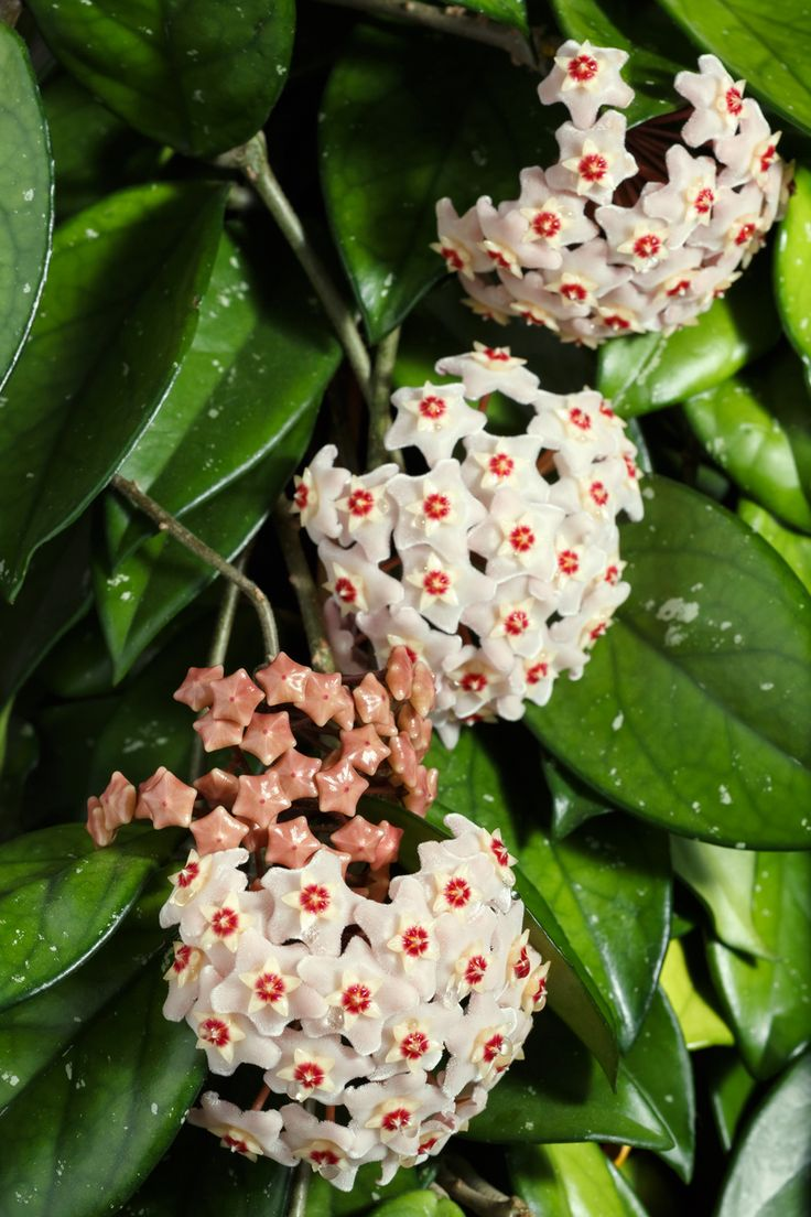 hoya climbing vines learn how to care for hoya wax plants