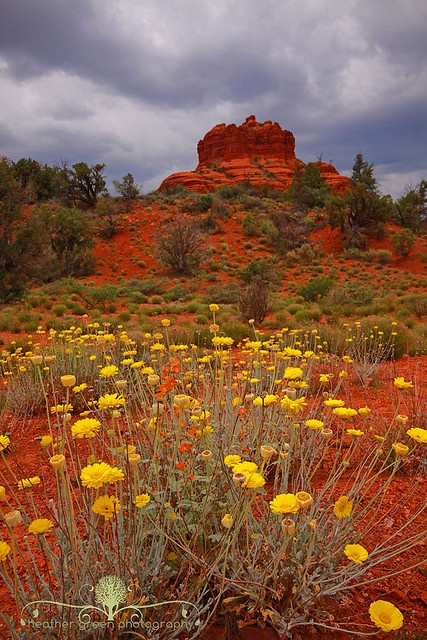 17 Best Images About Arizona Wildflowers On Pinterest