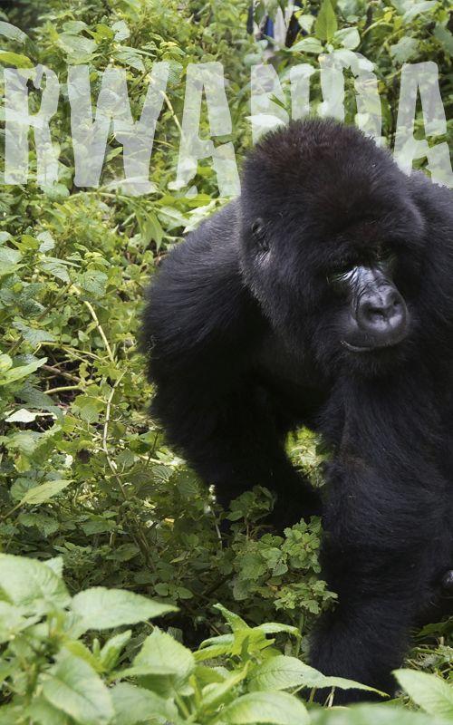 RWANDA: travel tips, gorillas trekking and much more www.espressofiorentino.com RUANDA: consejos de viaje, trekking con gorilas y mucho más  #Rwanda #Africa #Ruanda #Travel #viajar #viajes #traveler #animal #animals #gorila #gorilas #gorillas #gorilla