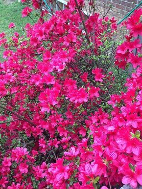 Coffee Grounds & Gardening Azalea bushes, roses, rhododendrons, evergreens, hydrangeas and camellias love coffee grounds for the natural acidity and nutrients they add to the soil. Used grounds can also repel snails and slugs!