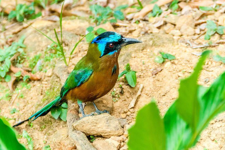 Tobago Bird - Captured in Castara, Tobago in the Caribbean. Curious little guy !