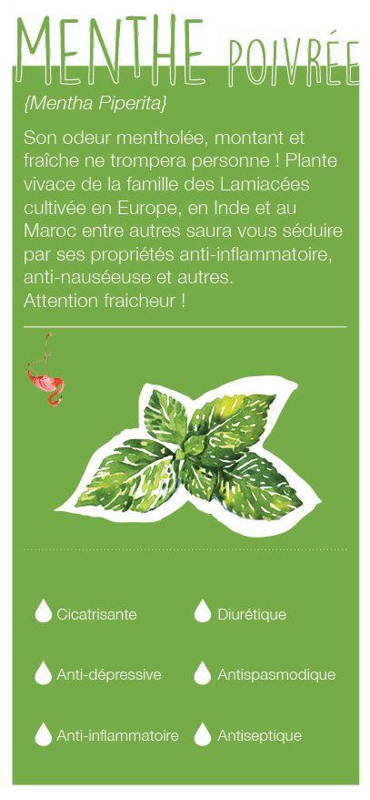 Plante vivace de la famille des Lamiacées, elle est cultivée en Inde, au Maroc et en Europe. Son odeur est mentholée, typique, montante et très fraîche. Elle est anti-inflammatoire, anti-infectieuse, anti-nauséeuse et est un stimulant digestif. Disponible chez Olyaris.