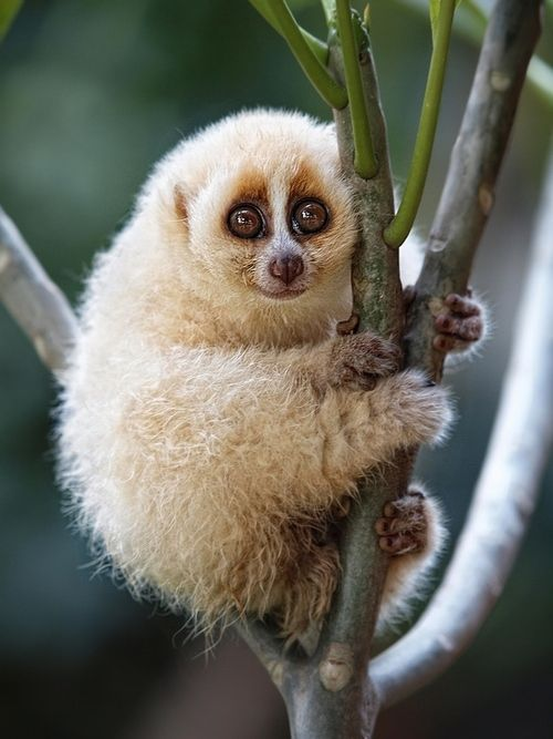 Smiling Loris... This guy is freakin adorable - seen a lot of videos of them pop up on facebook lately, this is what that 'thing' is!!