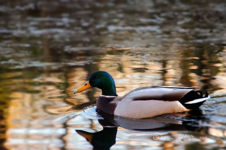 https://flic.kr/p/RRH1j4 | and now something from the past... | A beautiful Mallard duck cruising by...