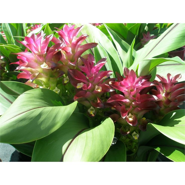Plant-curcuma 250mm Assorted