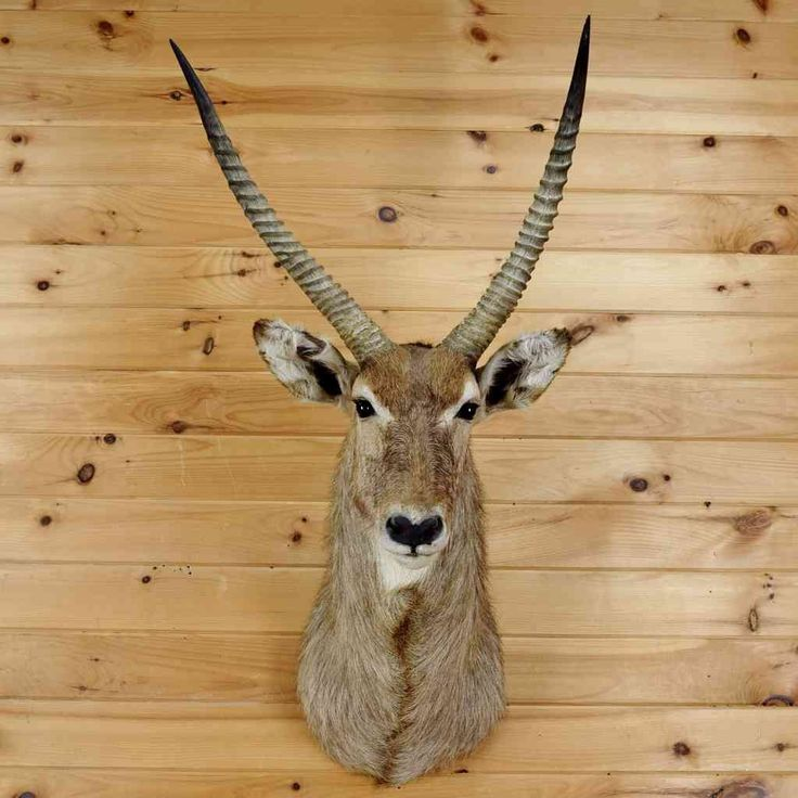 African Waterbuck Taxidermy For Sale - SW3634