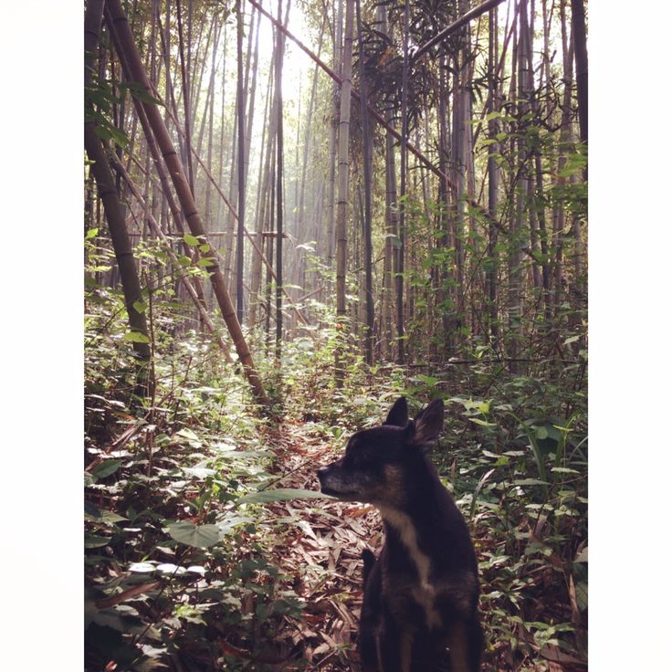 Taking the dog on a walk through the bamboo forest.