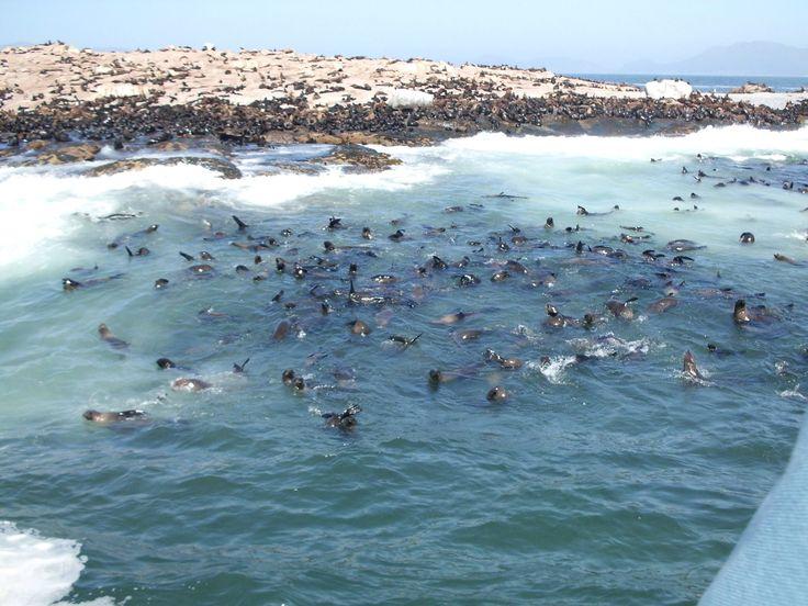 Seal soup! Seal Island False Bay SA