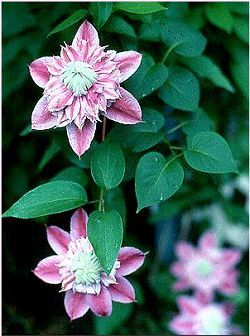 Clematis Vine - Josephine  Perennials  6 hrs sun/day  6-12' tall for trellis  They bloom from July to September.   double floured