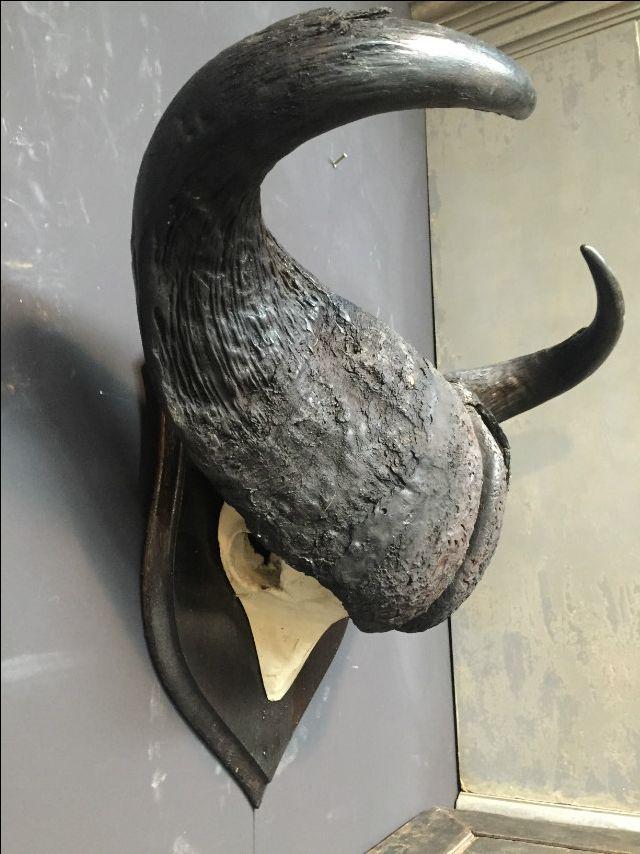 Oude zware schedel van een kaapse buffel. - Geweien hertengewei, hertengeweien - De Jachtkamer
