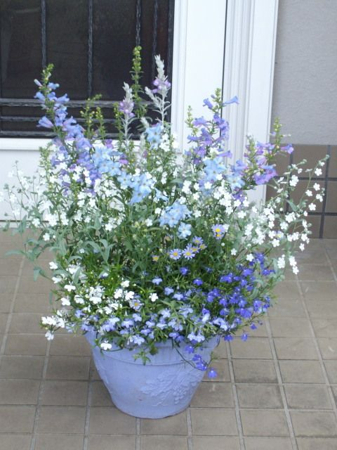 [Wow. I absolutely love the way these plants look in the light blue pot. We have quite a few cobalt blue pots, which I also like very much. But this one is outstanding, especially against the grey walls and tile. Some of the lower plants are lobelia. The taller ones look like larkspur, penstemon Electric Blue, and others. The cluster of little blue daisies is felicia.] 初夏のブルー寄せ植え