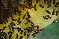 Buy honey bees packages nucs queens Little Bits Honey Bees | ABOUT