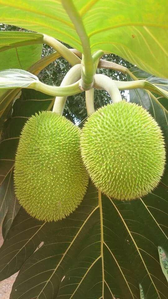 Tree Corazon Fruit Puerto Rico