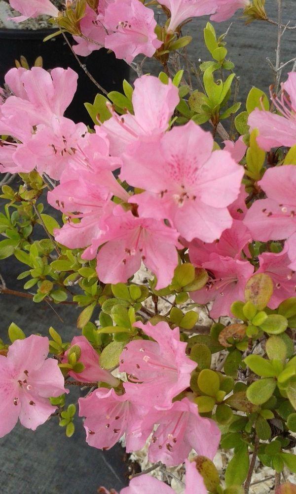 """azalea da giardino o per bonsai """"Elena"""""""