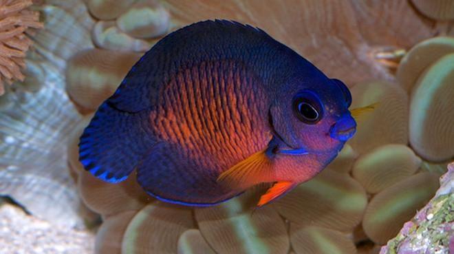 Coral Beauty Angel Fish Angel Fish Betta Fish