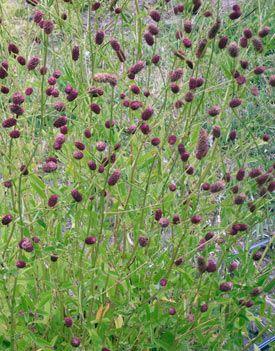 Sanguisorba officinalis 'Red Thunder' - Red Thunder Burnet