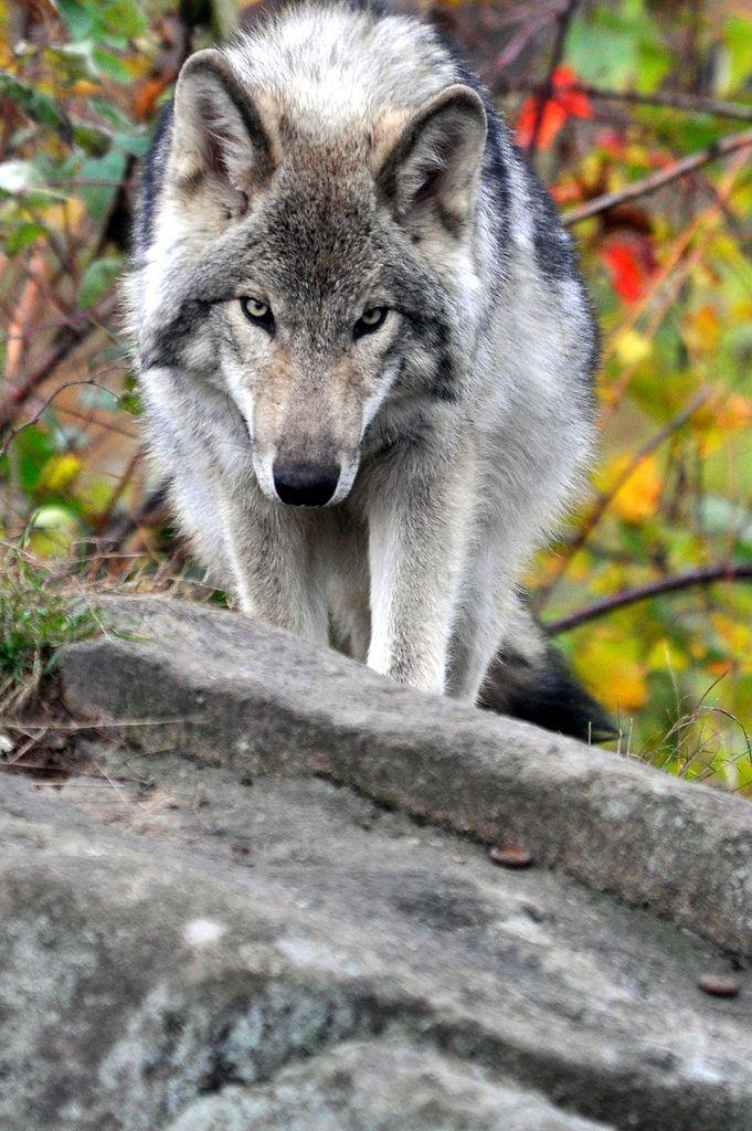 les 252 meilleures images du tableau loups sur pinterest animaux mignons animaux sauvages et. Black Bedroom Furniture Sets. Home Design Ideas