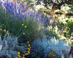 Blue oat grass with lavender and breath of heaven  Plant Combinations - Northern California Gardens mediterranean landscape