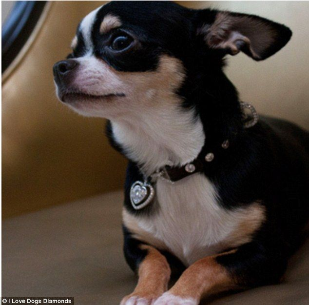 Diamonds are a dog's best friend! The world's most expensive dog collars  for incredibly pampered pooches