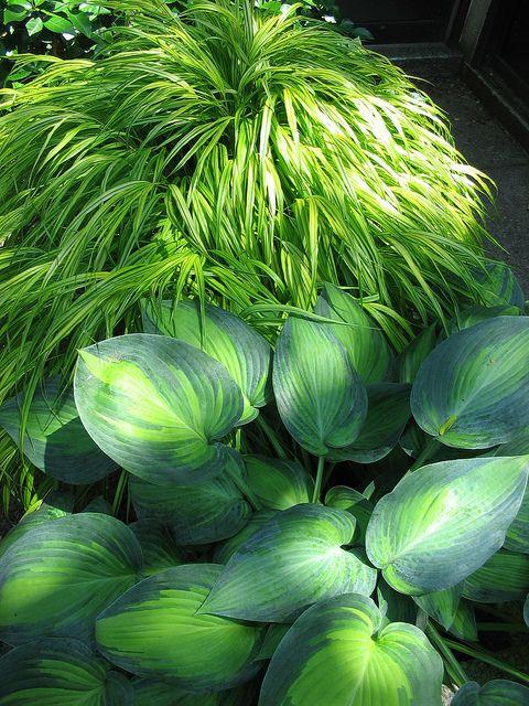 Hakonechloa macra 'Aureola' & Hosta by Behhnke Nurseries, Inc, via Flickr