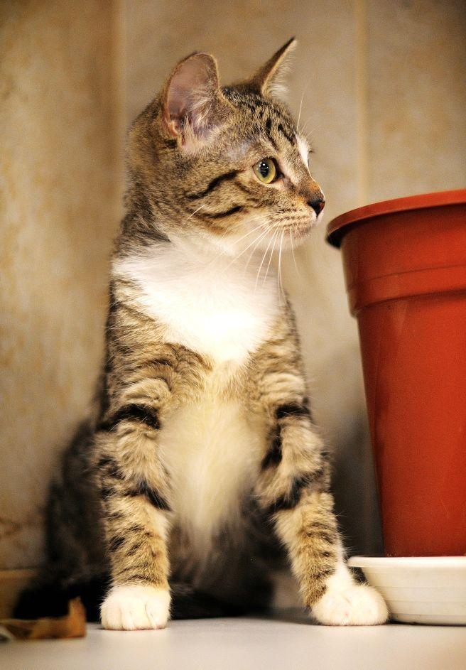 """Маркиза. Кошка, самка, метис, около 4 месяцев. Тема на форуме Благотворительного Фонда """"Сохрани Жизнь"""" - http://save-life.me/forum/viewtopic.php?f=22&t=4646 . Нашла Дом!"""