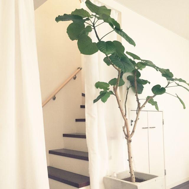 emさんの、壁/天井,IKEA,カーテン,DIY,ニトリ,つっぱり棒,ウンベラータ,突っ張り棒,寒さ対策,NO GREEN NO LIFE,つっぱり棒カーテン,吹き抜け階段,のお部屋写真