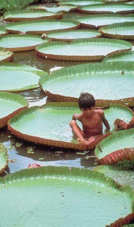 Boy on giant lily pads, Amazon River. Brazil