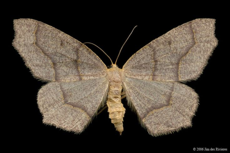 Hemlock Looper Moth (Lambdina fiscellaria) - Lac Bonin, Quebec - August 6, 2006