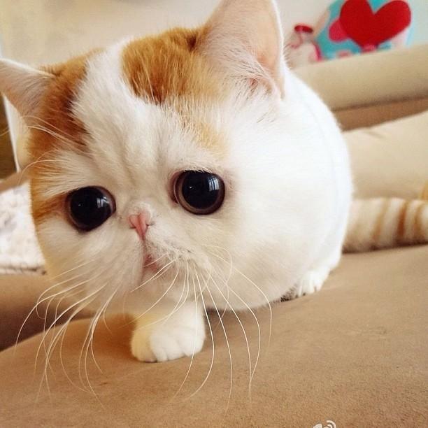 'Snoopybabe' es una 'bolita' de ternura resultado de la mezcla de gato persa con gato americano.     Aunque los enormes ojos caídos y la na...