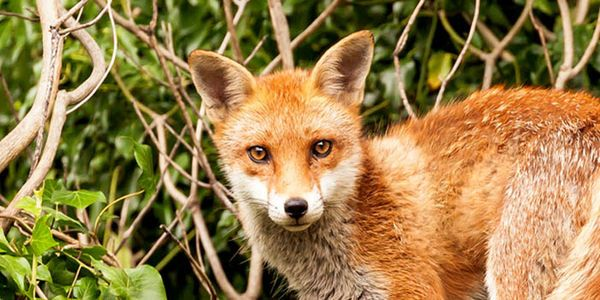 petitie: Tell Scottish Government to Ban Fox Snares!, United Kingdom