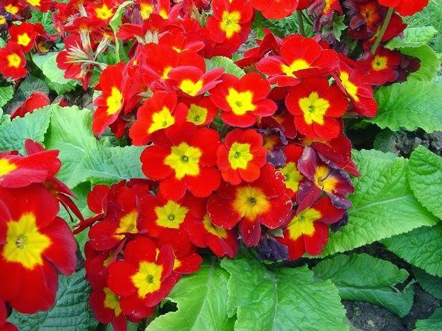arte y jardinera diseo de jardines flores silvestres familia de las primaveras