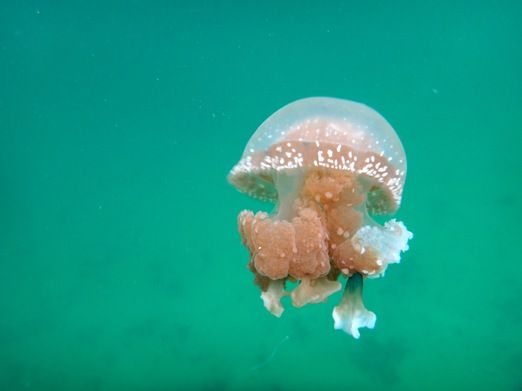 Stingless jellyfish: Non-divers can find plenty of snorkeling locations around the island, too. There is even a unique f...