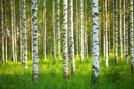 Birch Forest - Fototapeter - Photowall