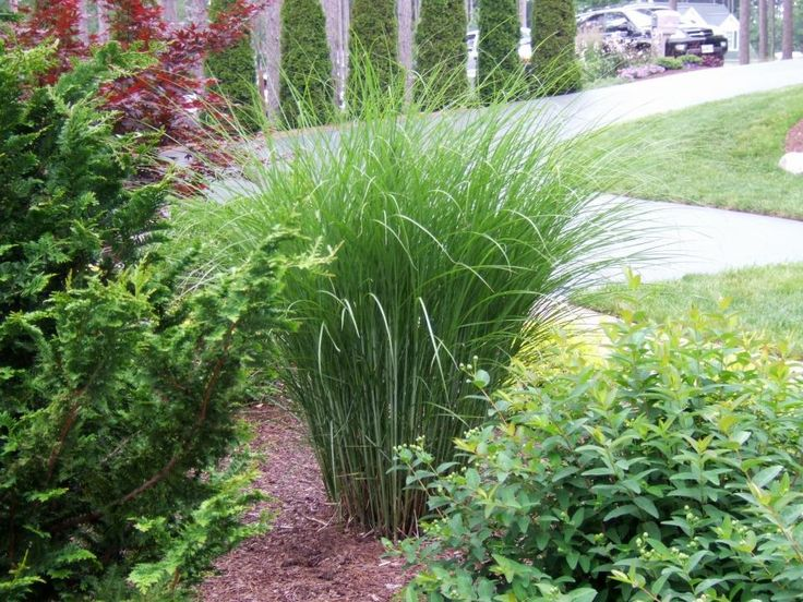 17 best images about grass plants on pinterest gardens for Low growing landscape plants