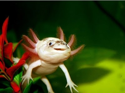 "Axolotl Awareness - The Axolotl is a Mexican neotenic mole salamander. The term ""neotenic"" refers to the fact that these salamanders reach sexual maturity without undergoing metamorphosis, as most other salamanders do. They are unable to transform due to a lack of thyroid stimulating hormone.    So happy looking. :D"