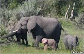 ピンクの「象 」