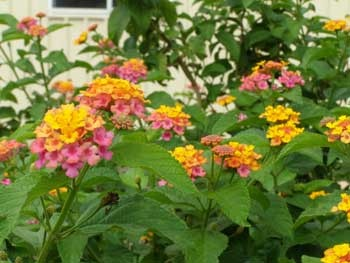 Lantana -- I lived in Australia for a few years, and loved the flora and fauna.  Lantana grew like a roadside weed there.  I always smile when I see it grown as a specimen plant in the gardens near my home in Toronto!