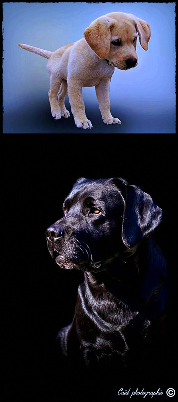 Labrador For Sale Near Me Get This Now Labradordiarrhea Labradorpuppiesyeovil Labradorrescuehull With Images Labrador Puppy Labrador Puppies For Sale Dog Breeds